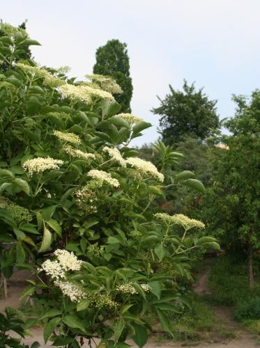 Blühender Holunder im Mauerpark