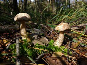 Eben noch im Wald, die kleinen Birkenröhrlinge