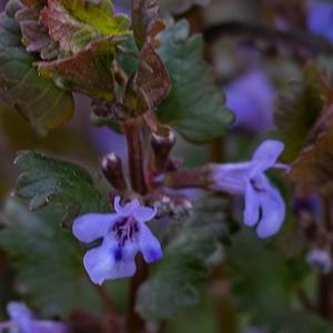 Gundermann - würzig, mit süßen blauen Blüten