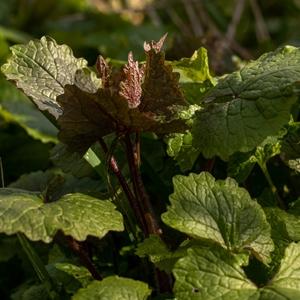 Knoblauchsrauke - mit zartem, lauchigen Aroma