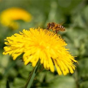 Löwenzahn - fantastisch für veganen Honig, Salate und Gemüse