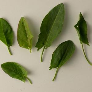 Sauerampfer - ein säuerliches aromatisches Wildkraut