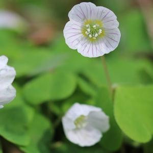 Sauerklee - lieblich, leicht säuerlich und mit sehr hübschen Blüten