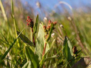Sauerampfer mit beginnender Blüte
