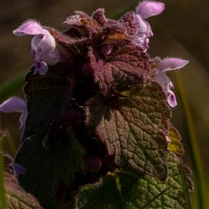 Taubnesseln - harmlose Nesseln mit hübschen, süßen Blüten