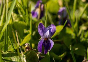 Veilchen, essbare Wildblumen