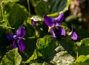 Duftveilchen, bescheidene kleine Blumen