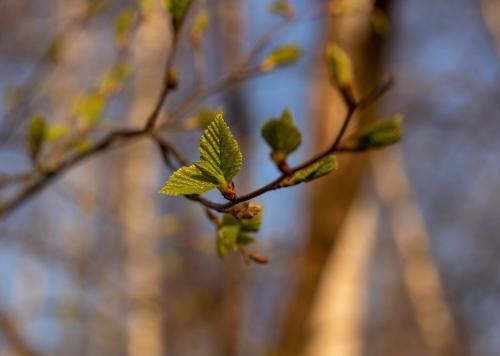 So jung und frisch schmecken die Birkenblätter am besten