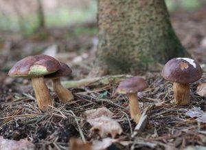 Pilzglück im Herbstwald, hier Maronenröhrlinge