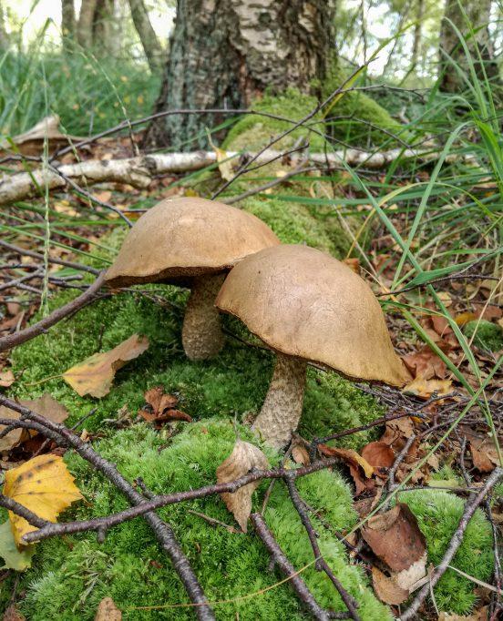 Birkenpilze, Birkenröhrlinge, sehr typisch gewachsen und schon etwas älter