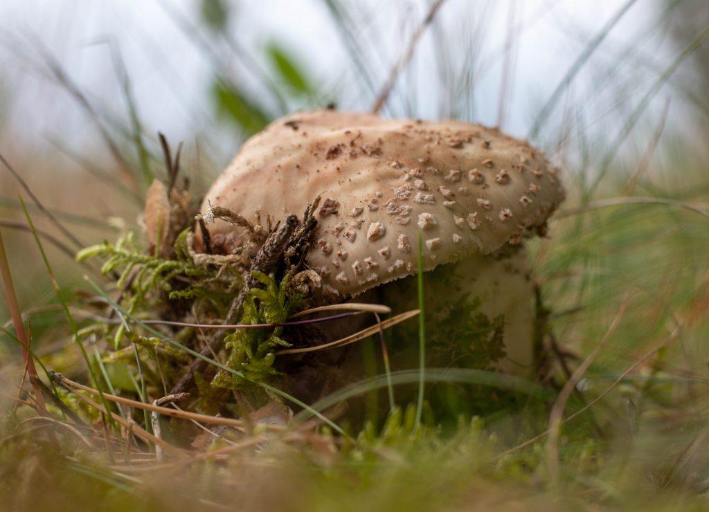 Ein Perlpilz bricht durch's Moos
