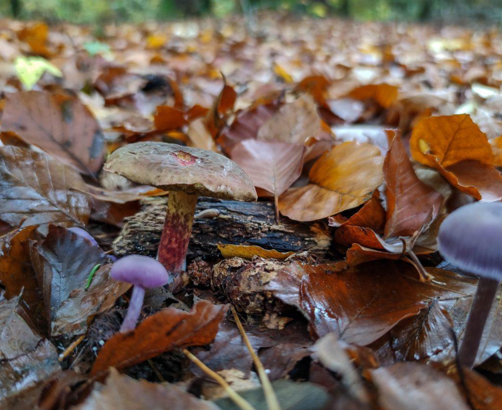 Rotfüßchen und Violette Lacktrichterlinge