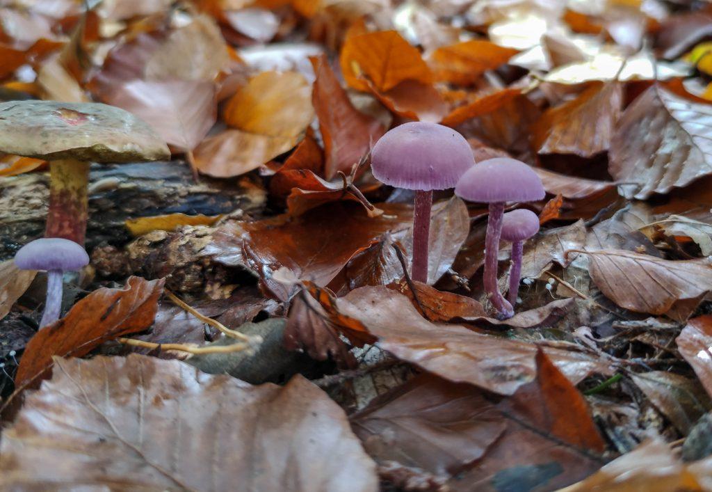 Violette Lacktrichtlerlinge, im Hintergrund ein Rotfüßchen