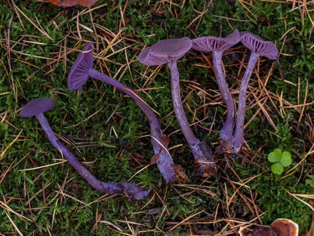 Bei Feuchtigkeit sind die Pilze richtig knallig violett