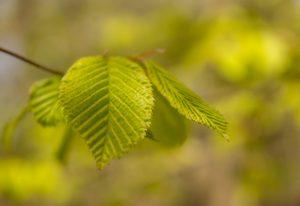Wenn die Blätter noch hellgrün und ganz zart sind, sind sie genau richtig!