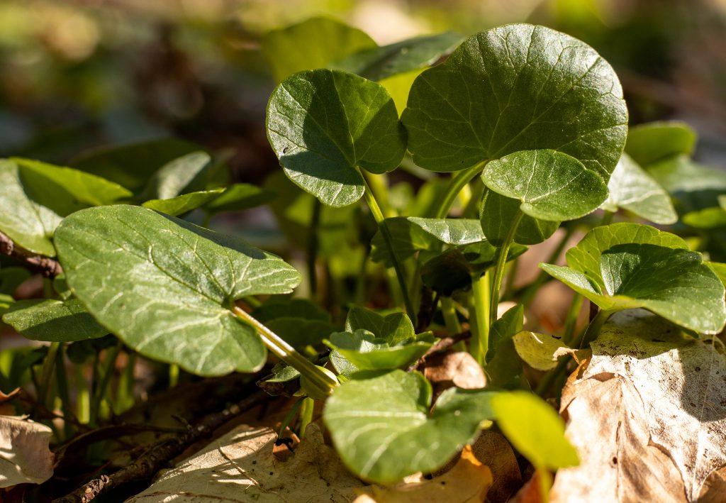 Das Scharbockskraut darf nur vor der Blütenbildung verwendet werden