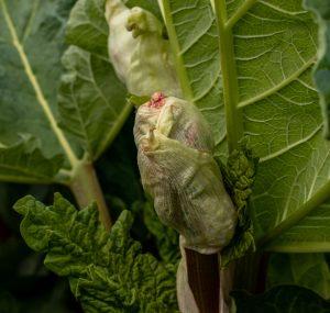 Rhabarberknospe, geschlossen, noch tief in der Pflanze sitzend