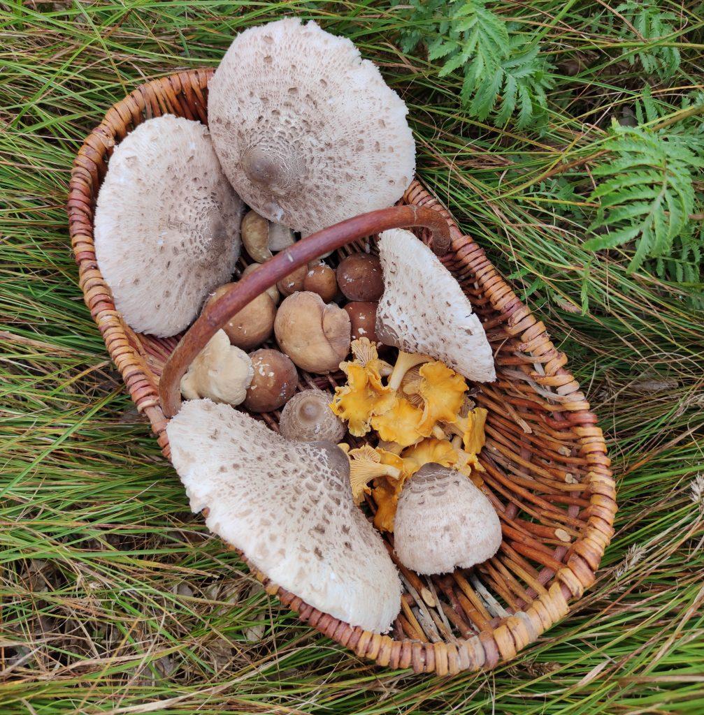 Riesenschirmlinge füllen den Pilzkorb mit wenigen Expemplaren
